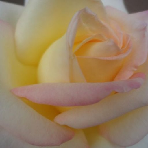 cropped-peace-rose.jpg